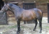 Koń Gino